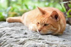Cat Lying On The Stone