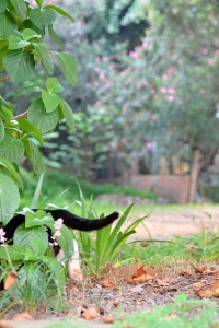 Cat and Pink Flowesr (Adelfa ( Nerium Oleander))