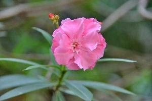 Adelfa ( Nerium Oleander)