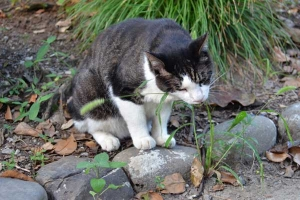 Cat Eating Summer Grass (Green Bristlegrass)