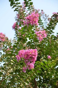 Pink Crape Myrtle Flowers