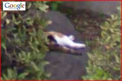 Google Street View Cat