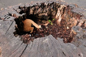 Ai-chan The Cat Inside Tree Stump