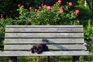 Bench Cat and Roses