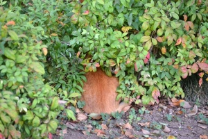 Cat in Early Autumn Bush