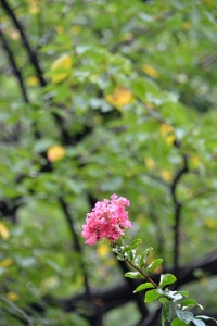 Pink Crape Myrtle Against Sakura Foliage