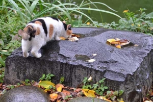 Sakura-chan The Cat Drinking Rain Water
