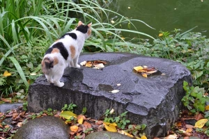 Sakura-chan The Cat By The Pond