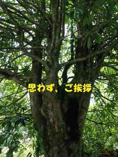 とっても緑豊かで大きな木です。
