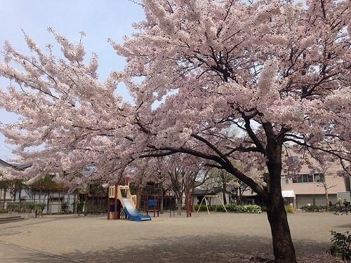 曙公園には立派な桜がある