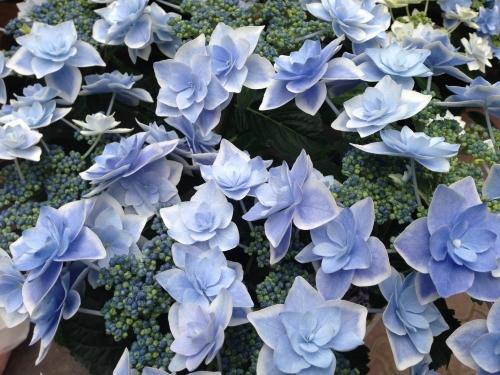 花びらがすごいアジサイ