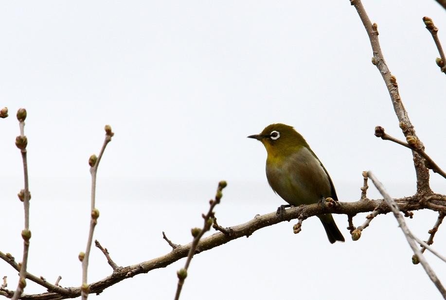 メジロ2014-3-27-1-30淀川-三島江Img_1736