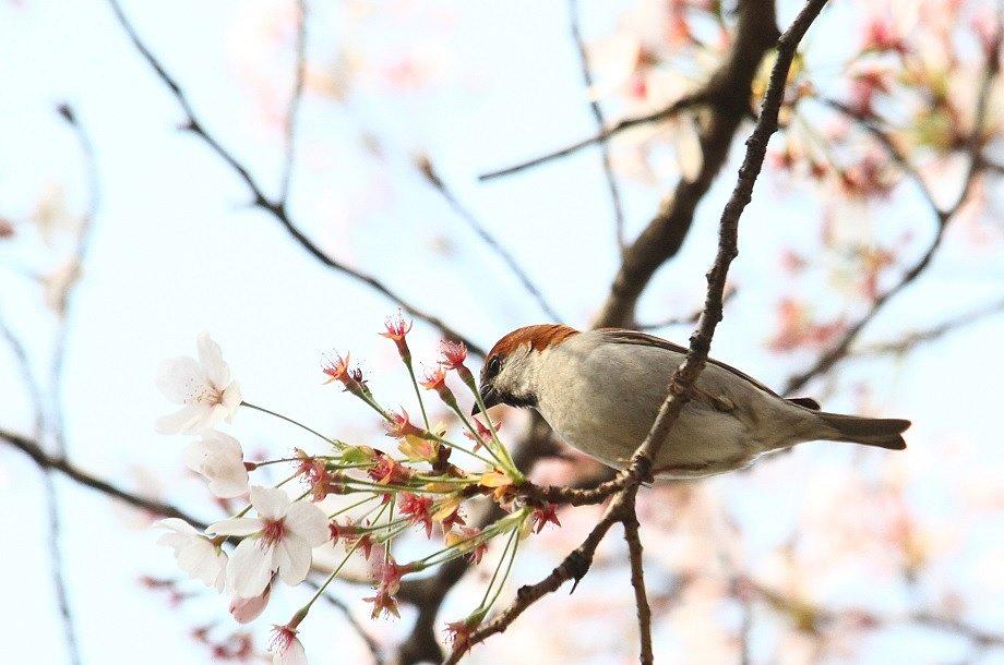 ニュウナイスズメ2014-4-10-3-25淀川-八幡市IMG_0140