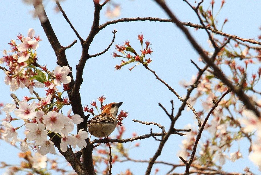 ニュウナイスズメ2014-4-10-5-25淀川-八幡市IMG_0190