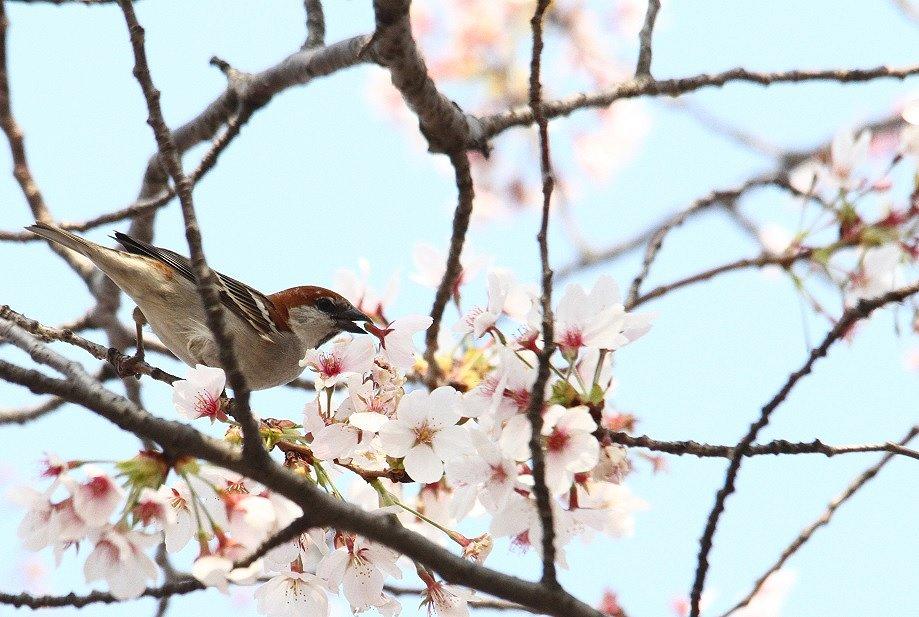 ニュウナイスズメ2014-4-10-15-25淀川-八幡市IMG_0423