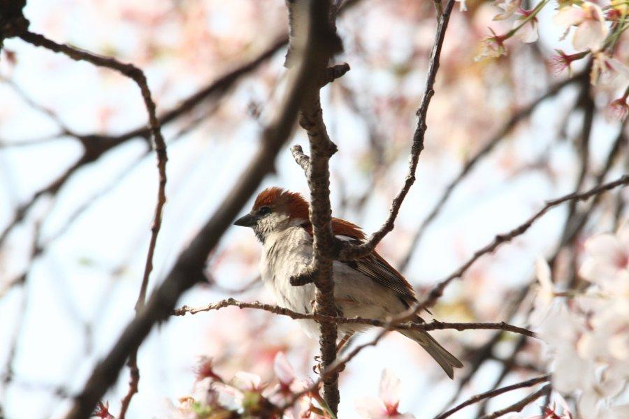 ニュウナイスズメ2014-4-10-18-18淀川-八幡市IMG_0475