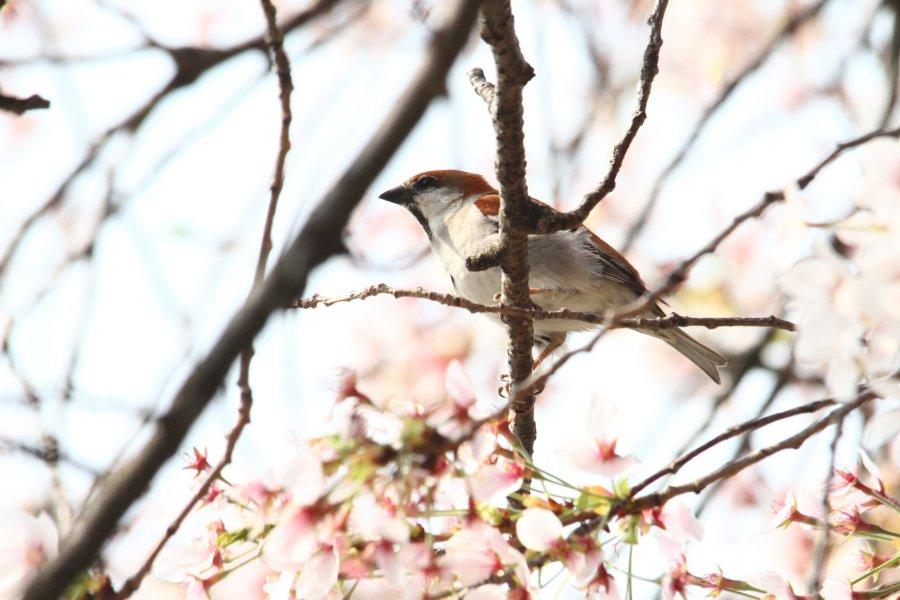ニュウナイスズメ2014-4-10-19-18淀川-八幡市IMG_0480