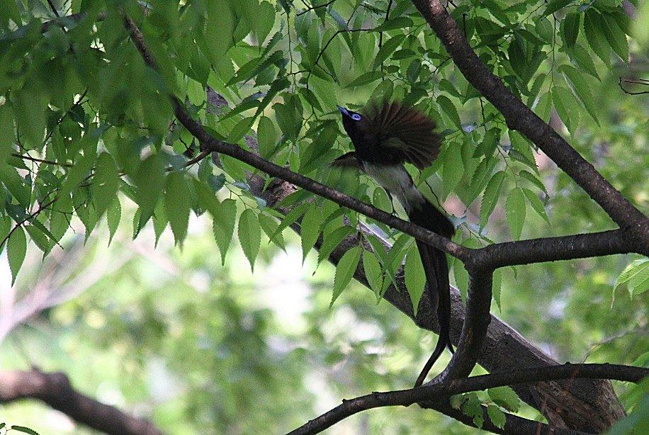 サンコウチョウ2014-5-3-10-25大阪城公園IMG_2591