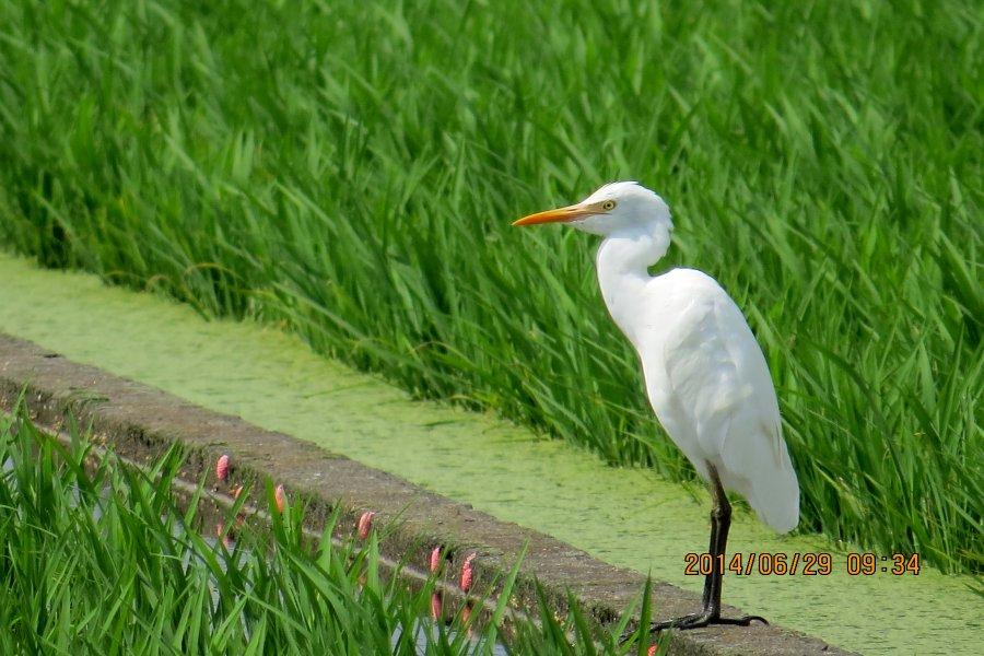 アマサギ2014-6-29-4-18高槻市-三島江IMG_1306