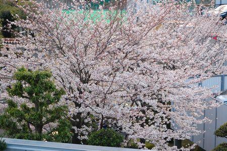 20140405sakura2.jpg