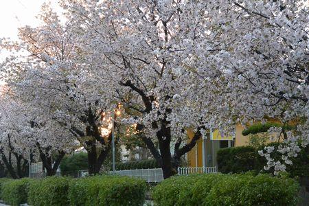 20140411sakura4.jpg
