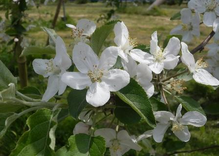 リンゴの花A