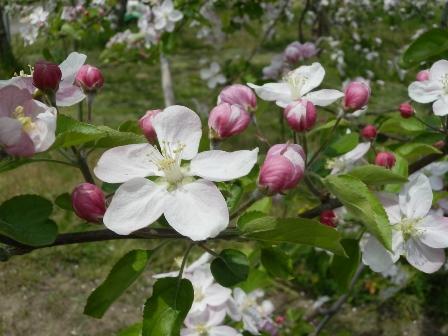 リンゴの花B