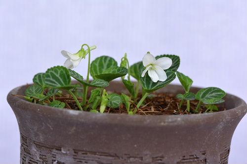 白花フイリゲンジスミレ