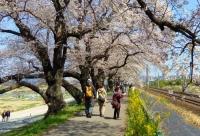 桜2014白石川堤一目千本桜4船岡歩道