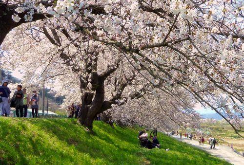 桜2014白石川堤一目千本桜5船岡土手