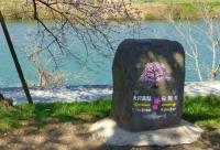 桜2014白石川堤一目千本桜6案内石碑
