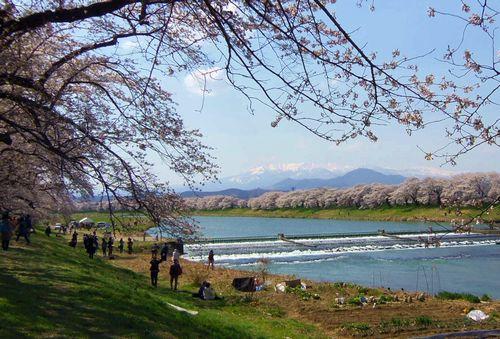 桜2014白石川堤一目千本桜10韮神堰