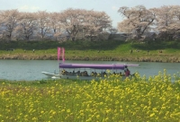 桜2014白石川堤一目千本桜11屋形船