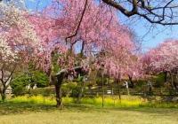 桜2014塩釜神社2駐車場付近