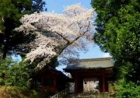 桜2014塩釜神社4東神門