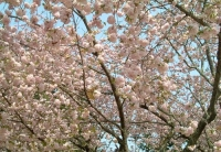 桜2014塩釜神社11塩竈桜20100505