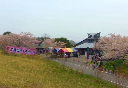 桜2014加護坊山1四季彩館