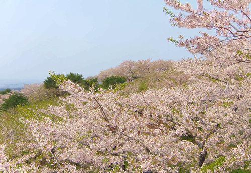 桜2014加護坊山6南側斜面