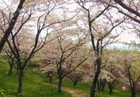 桜2014加護坊山7南側斜面