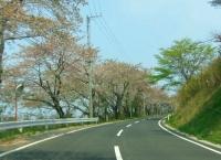 桜2014加護坊山13市道