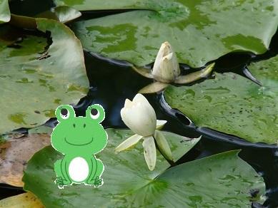 蓮の花と蛙
