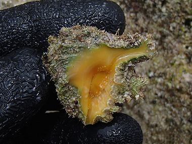 キイロイガレイシ02
