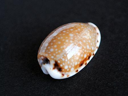 ナシジダカラ- 殻頂