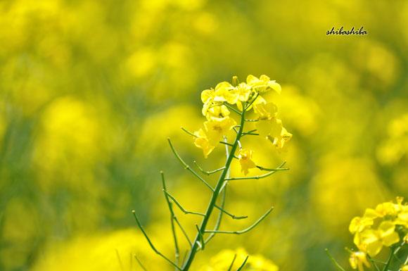 2014菜の花