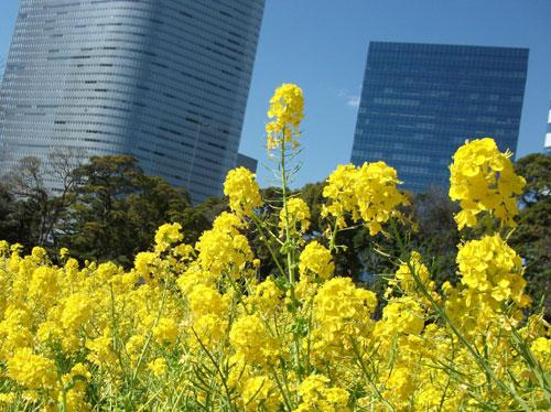 菜の花とビル