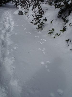 ③ウサギの足跡