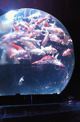 地球儀型の水槽で泳ぐ金魚。