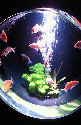 水槽の中の金魚が優雅でした。