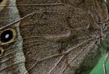 ヒメジャノメ