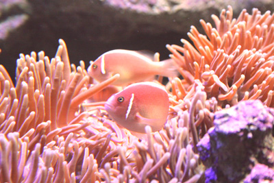 ピンク魚a